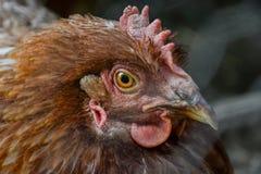Feche acima da posição principal dos hen's na jarda de exploração agrícola rural Suporte da galinha na jarda de celeiro Imagens de Stock
