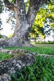 Feche acima da raiz da árvore Imagem de Stock Royalty Free