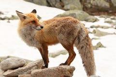 Feche acima da raposa vermelha no selvagem na natureza com fundo do borrão imagem de stock royalty free