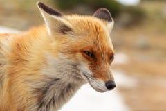 Feche acima da raposa vermelha no selvagem na natureza com fundo do borrão foto de stock