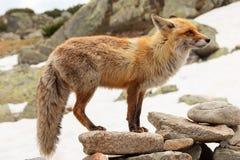 Feche acima da raposa vermelha no selvagem na natureza com fundo do borrão fotografia de stock