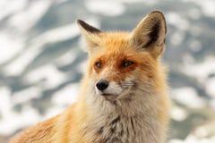 Feche acima da raposa vermelha no selvagem na natureza com fundo do borrão fotografia de stock royalty free