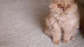Feche acima da reação do gato persa filme