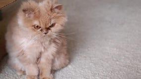Feche acima da reação do gato persa vídeos de arquivo