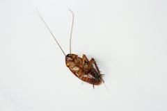Feche acima da reviravolta inoperante do cockroache Fotografia de Stock