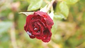 Feche acima da rosa bonita do vermelho no ramo verde com gotas da água Rosa do vermelho com o botão no jardim Imagem artística da vídeos de arquivo
