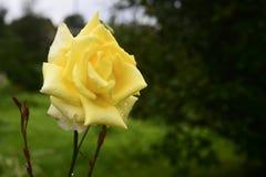 Feche acima da rosa de florescência do amarelo Imagens de Stock