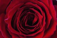 Feche acima da rosa do vermelho, detalhe Imagens de Stock Royalty Free