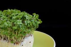 Feche acima da salada britânica Cress Against um fundo preto Imagens de Stock