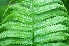 Feche acima da samambaia verde-clara fresca na mola com profundidade de campo rasa imagens de stock royalty free