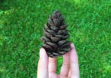 Feche acima da semente de pinho na mão fêmea Foto de Stock