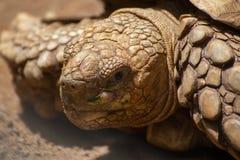 Feche acima da tartaruga gigante asiática na selva, vida lenta, bonita imagem de stock royalty free