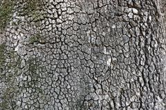 Feche acima da textura da casca de ?rvore Fotografia de Stock