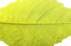 Feche acima da textura da folha da noz Fotos de Stock