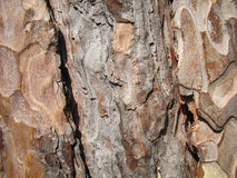 Feche acima da textura da pele da árvore Imagem de Stock