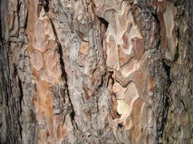 Feche acima da textura da pele da árvore Foto de Stock Royalty Free
