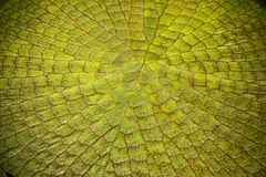 Feche acima da textura das folhas dos lótus de victoria Fotos de Stock