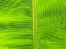 Feche acima da textura verde da folha da banana Imagem de Stock Royalty Free