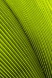 Feche acima da textura verde tropical da licença Fotografia de Stock Royalty Free