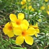 Feche acima da trombeta dourada, flor Fotos de Stock Royalty Free