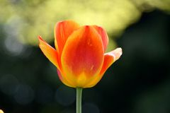 Feche acima da tulipa amarelo-vermelha, florescência do springflower Fotos de Stock Royalty Free