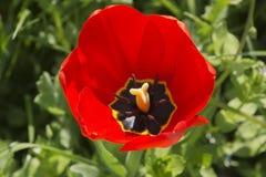 Feche acima da tulipa vermelha brilhante imagens de stock