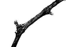 Feche acima da videira seca em preto e branco Fotografia de Stock