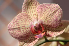 Feche acima da vista da flor da orquídea do Phalaenopsis Foto de Stock