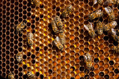 Feche acima da vista das abelhas de trabalho e do pólen recolhido no ho Imagens de Stock
