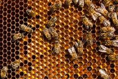 Feche acima da vista das abelhas de trabalho e do pólen recolhido no ho Imagem de Stock