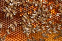 Feche acima da vista das abelhas de trabalho e do pólen recolhido no ho Fotografia de Stock Royalty Free
