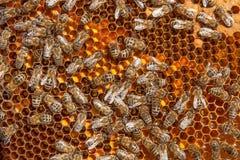 Feche acima da vista das abelhas de trabalho e do pólen recolhido no ho Foto de Stock