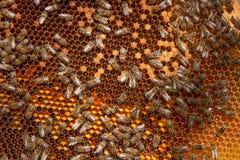 Feche acima da vista das abelhas de trabalho e do pólen recolhido no ho Imagens de Stock Royalty Free