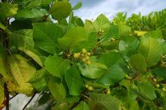 Feche acima da vista das folhas verdes grandes bonitas da planta tropical Fundo/textura verdes Imagens de Stock Royalty Free