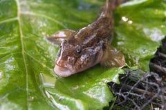 Feche acima da vista de peixes de água doce do peixe-gato ou do jus redondo dos peixes do góbio Fotos de Stock Royalty Free