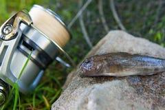 Feche acima da vista de peixes de água doce do peixe-gato ou do jus redondo dos peixes do góbio Imagens de Stock Royalty Free