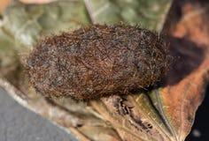 Feche acima da vista de um casulo da lagarta da traça de tigre de Isabella ou de urso felpudo em uma folha seca imagens de stock