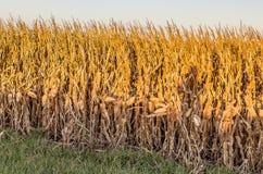 Feche acima da vista do campo de milho maduro Omaha Nebraska imagem de stock