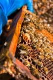 Feche acima da vista do pente com a rainha nova da abelha Feche acima de mostrar Foto de Stock