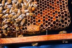 Feche acima da vista do pente com a rainha nova da abelha Feche acima de mostrar Imagem de Stock Royalty Free
