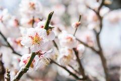 Feche acima da vista da flor de cerejeira Fotos de Stock Royalty Free