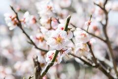 Feche acima da vista da flor de cerejeira Fotografia de Stock Royalty Free