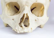 Feche acima da vista macro do osso humano do crânio que mostra a anatomia do forâmen nasal, do septo nasal e da cavidade orbital imagens de stock royalty free