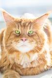 Feche acima da vista Maine Coon Cat lindo com os olhos verdes grandes Fotos de Stock Royalty Free