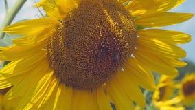Feche acima da vista na abelha que recolhe o farina do girassol Girassol que floresce no campo agrícola no verão amarelo vídeos de arquivo