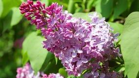 Feche acima da vista no lilás bunchy na mola vídeos de arquivo