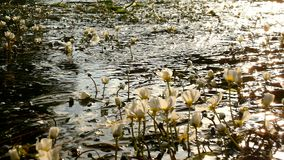 Feche acima da vista para fluir com as flores da flor enorme da água O córrego da água clara está balançando com plantas de flore filme