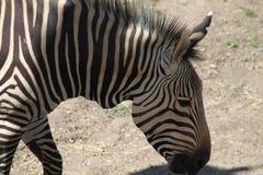 Feche acima da zebra Fotografia de Stock Royalty Free
