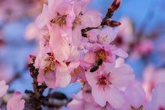 Feche acima das árvores de amêndoa de florescência Flor bonita da amêndoa nos ramos Árvore de amêndoa da mola e flores cor-de-ros imagem de stock