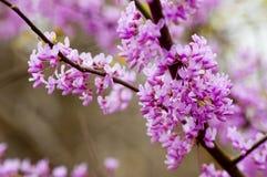 Feche acima das árvores de Redbud na flor Fotos de Stock